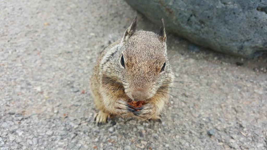 An einem der vielen Parkplätze auf der Fahrt über den Highway No.1 gab es wirklich sehr zutrauliche Erdhörnchen ohne Ende. Man konnte sie sehr leicht mit Muffins oder ähnlichem Knabberzeug füttern und sie dabei sogar in Ruhe beobachten.  Sie waren an Touristen gewöhnt.