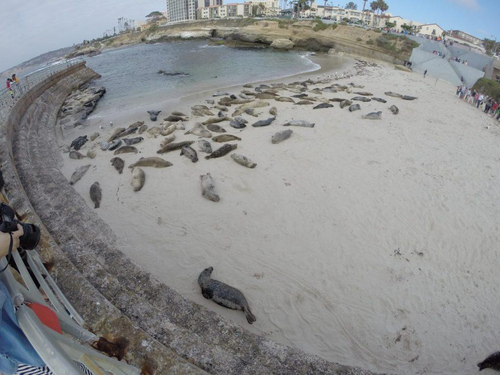Die Seerobben von La Jolla. Ein kleiner Küstenort im Norden von San Diego. HALLO...die sind nicht tot!! Die sind nur faul!!! :)