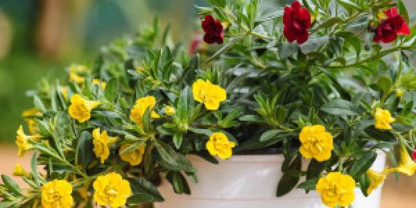 Συμβουλές για την φροντίδα της καλιμπραχόης σε κρεμαστά καλάθια