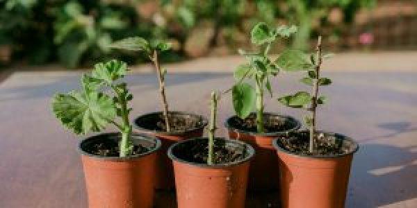 Πολλαπλασιασμός φυτών με μοσχεύματα