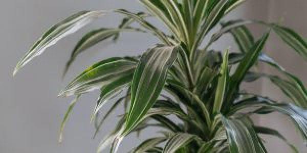 Δράκαινα, ένα εξωτικό φυτό εσωτερικού χώρου