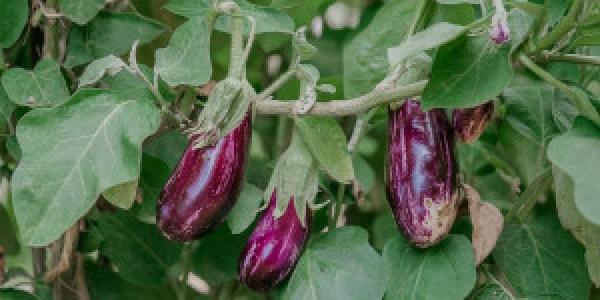 5 μυστικά για καλλιέργεια μελιτζάνας