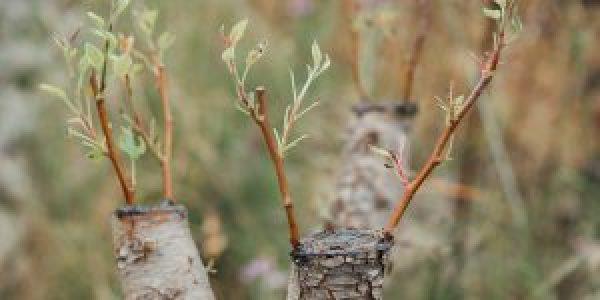 Τρόποι εμβολιασμού για το μπόλιασμα δέντρων