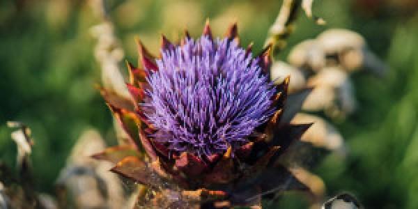 Το εντυπωσιακό λουλούδι της αγκινάρας