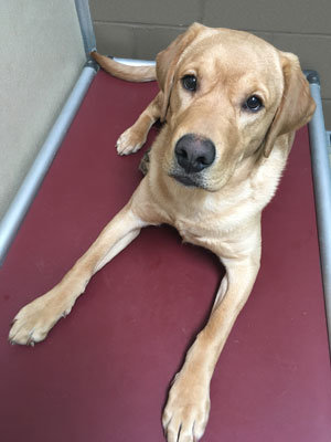 Labrador Retriever laying down on Kuranda bed in kennel.