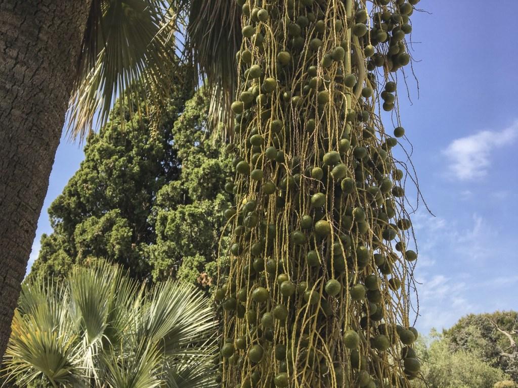 Datteln - Jardí Botànic Marimurtra