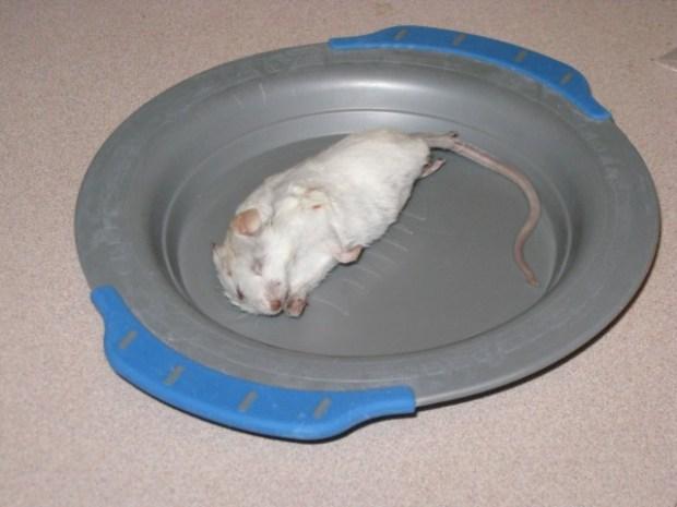 Closeup of an extra large mouse