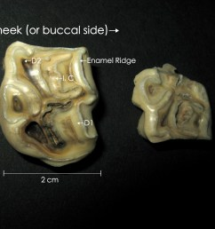 the results also showed that the age at cap removal increased for more caudal teeth teeth in the upper jaw and for mares  [ 4000 x 3000 Pixel ]