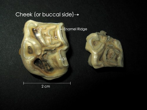 small resolution of the results also showed that the age at cap removal increased for more caudal teeth teeth in the upper jaw and for mares