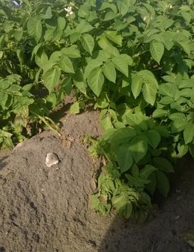 """Auch der Bauer auf dem Feld """"häufelt"""" die Kartoffeln."""