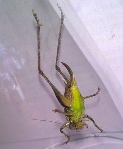 Hier sieht man die leuchtend grünlich gelbe Unterseite der Gemeinen Strauchschrecke.