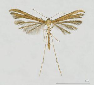 Die Flügel der Emmelina monodactyla bestehen aus Federn (Von Didier Descouens - Eigenes Werk, CC-BY-SA 4.0, https://commons.wikimedia.org/w/index.php?curid=15943600).