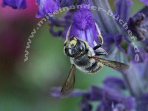 Das Männchen einer Große Wollbiene an einer Salbeiblüte.