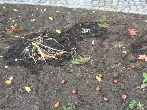 Viele Zwiebeln für Linas Beet.