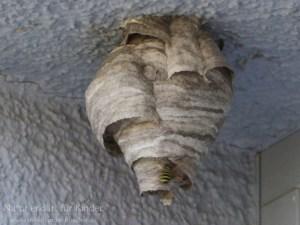 Die fleißigen Baumeister – Zwei Wespennester