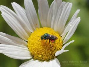 Es giltzert auf der Blüte - Die Goldwespe