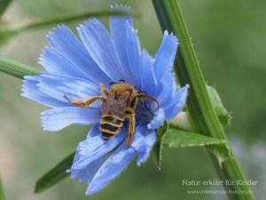 Mit Püscheln an der Beinen - Die Hosenbiene