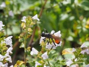 Insekten im Herbst - Ein Drohn der Heuschrechkensandwespe
