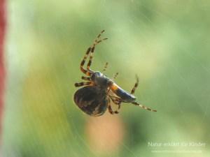 Tiere im Herbst - Kreuzspinne mit Beute