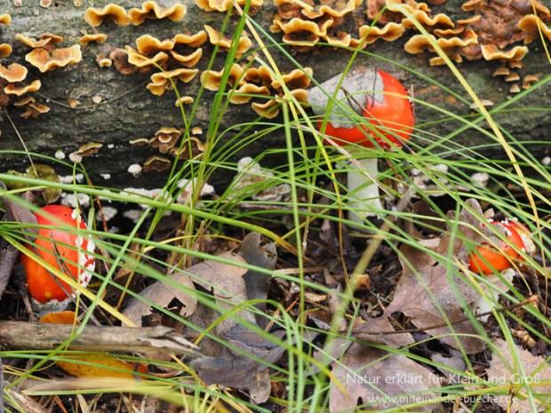 Ein Männlein steht im Walde - Der Fliegenpilz