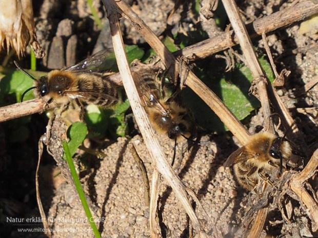 Reger Flugbetrieb im Sand - Die Frühlings-Seidenbienen