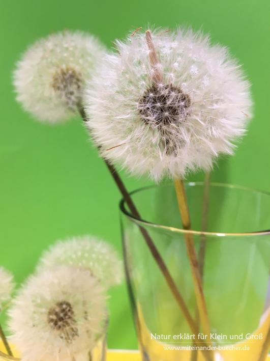 Lotte Löwenzahn im Haus - Pustebluemen halbar machen