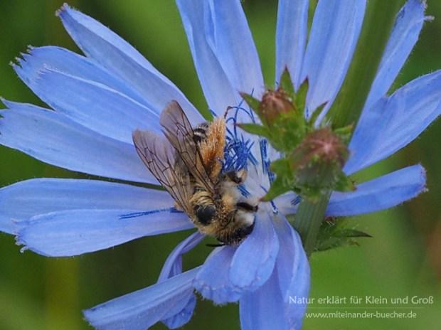 Die Hosenbienen sind wieder da - Natürlich an der Wegwarte