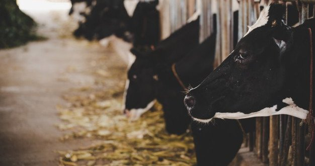 משרד הבריאות מזהיר: פרה נגועה בכלבת בישוב ראמה שבגליל המערבי