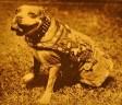 Ο τετράποδος Λοχίας που έσωσε τη ζωή δεκάδων στρατιωτών και αιχμαλώτισε έναν γερμανό στρατιώτη, στον Α΄ Παγκόσμιο Πόλεμο. Επιβίωσε ακόμη και από χημικά αέρια