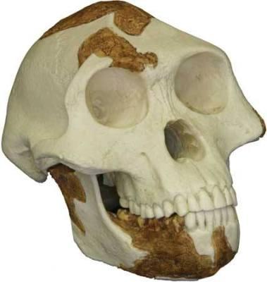 Australopithikos Afar -3