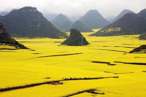 """Τα χρυσά λιβάδια. Το φυτό με τα όμορφα λουλούδια που δημιουργεί έναν """"κίτρινο ωκεανό"""". Δείτε το παραμυθένιο τοπίο"""
