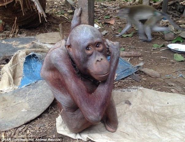 Ο Μπουτζίνγκ όπως βρέθηκε από την ομάδα διάσωσης. Οι ουρακοτάγκοι έχουν καφέ κόκκινο τρίχωμα και ζουν στα τροπικά δάση των νησιών Βόρνεο και Σουμάτρα