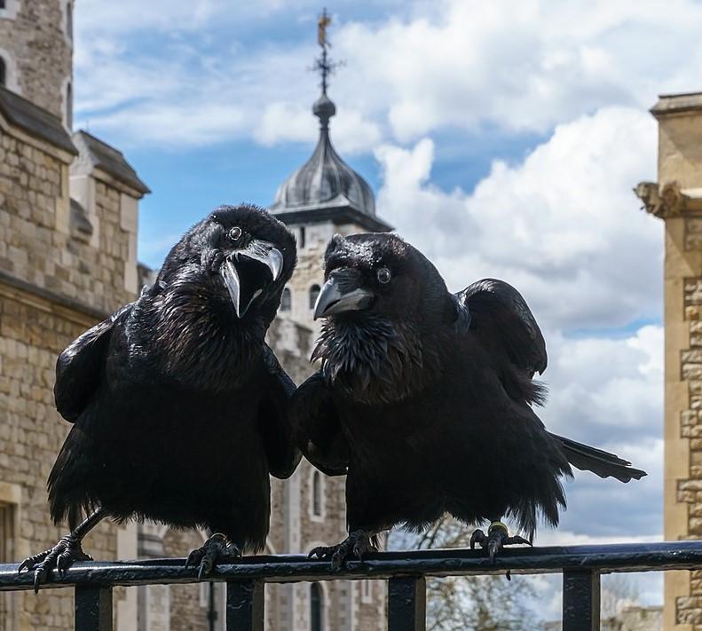 Γιατί τα κοράκια είναι προστατευόμενο είδος στον Πύργο του Λονδίνου. Τα σέβονται όλες οι κυβερνήσεις, αλλά τρία απολύθηκαν λόγω ανάρμοστης συμπεριφοράς