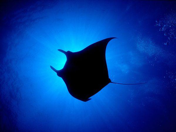 manta-ray-baja-california_38997_600x450