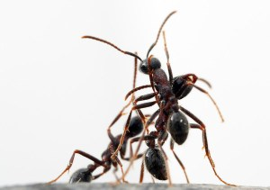 telepatia si viata sociala a insectelor