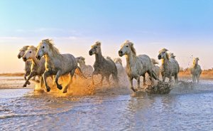 caii albi de camargue