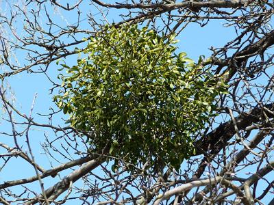 vascul ,o planta miraculoasa