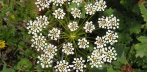 anasonul aroma sanatatii din natura