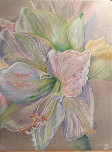 Amaryllis - Verkocht /Kleurpotlood op papier - 24 x 32