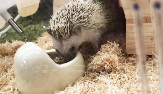 ハリネズミのお世話の方法・流れ・餌やおやつを徹底解説|はりねずみ飼う前の疑問総まとめ