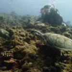 宮古島の体験ダイビングでウミガメ