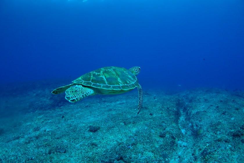 宮古島ファンダイビング アオウミガメ