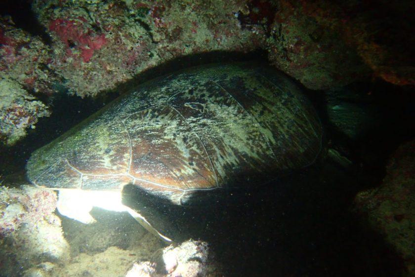 オーストラリア グレートバリアリーフ アオウミガメ