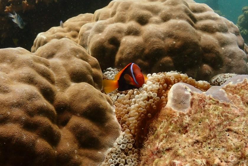 オーストラリア グレートバリアリーフ オーシャンクエスト Red and Black anemonefish