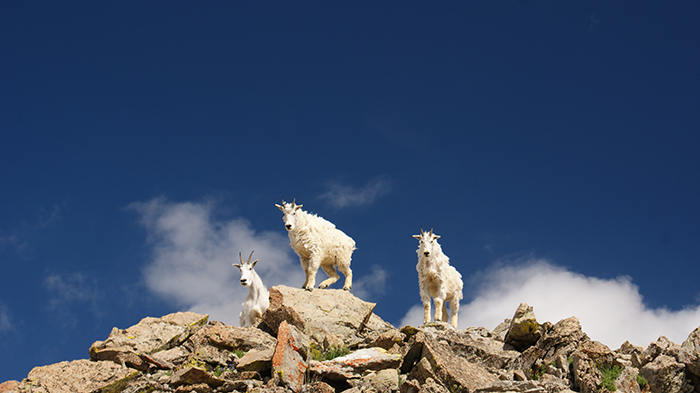 Curious Mountain Goats