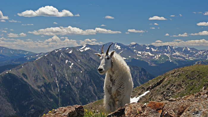 Mountain Goat Trail Blazer