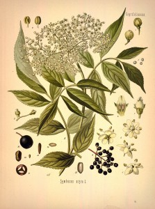 Chelsie - Elderberry