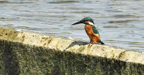 23 octobre – Découvrir les oiseaux : observation des oiseaux sur les berges de la Garonne #2
