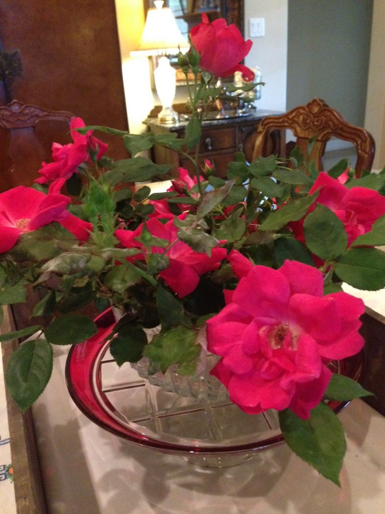 #knockout roses