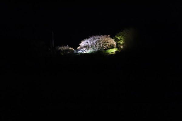 【愛媛】内子 石畳東しだれ桜 夜桜